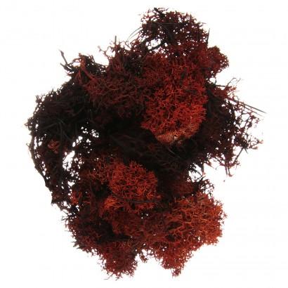 copy of Lichene Arancione...